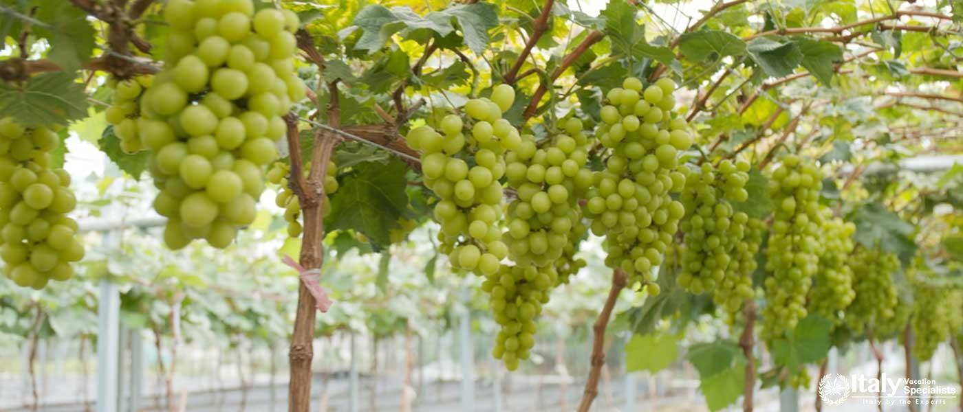 Green grape farm garden in Campania