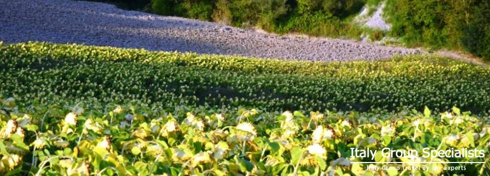 Turn Your Head to the Sun! Experience the Sunflowers and the Colourful Region of Le Marche Region, I